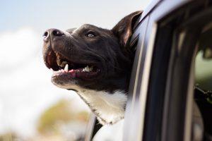 Táxi dog: 8 dúvidas frequentes sobre esse serviço